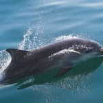 tursiops-truncatus-tim-stenton