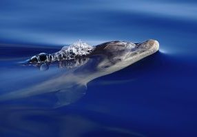 Bottlenose dolphin at surface
