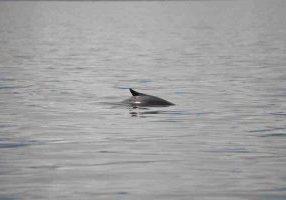 burmeisters-porpoise-marta-hevia