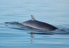 Common minke whale