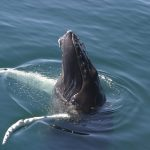 humpback-spyhop-sue-rocca