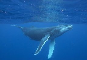 humpback-whale-vanessa-mignon