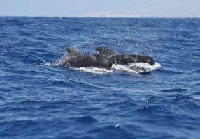 Short-finned pilot whale